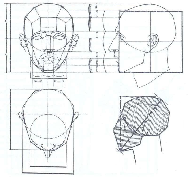 Пропорции головы